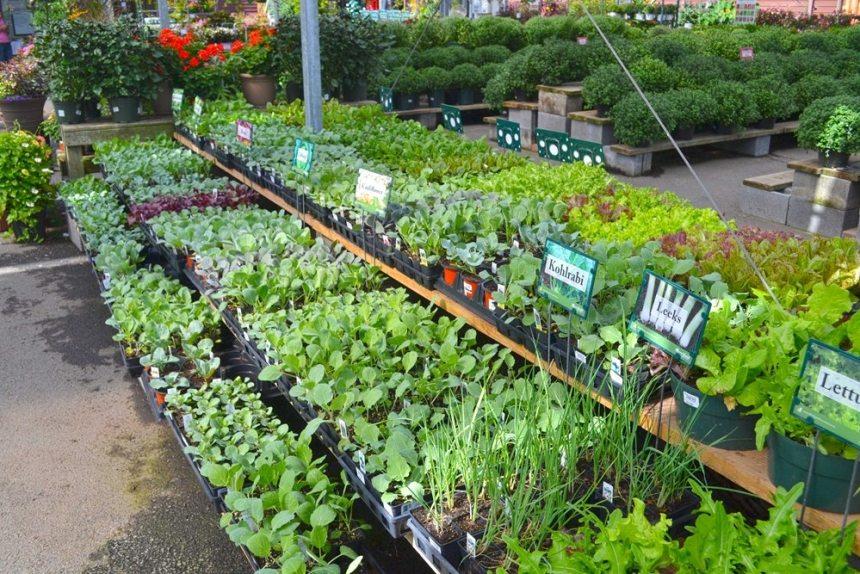 Cool season vegetables, Kohlrabi, leeks, lettuce