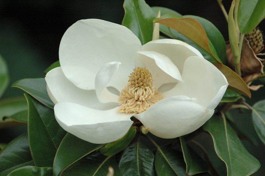 Southern Magnolia The Quintessential Southern Tree Merrifield