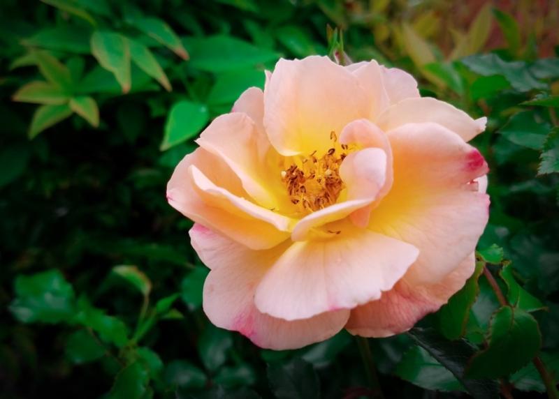 Carpet Rose, Shrub