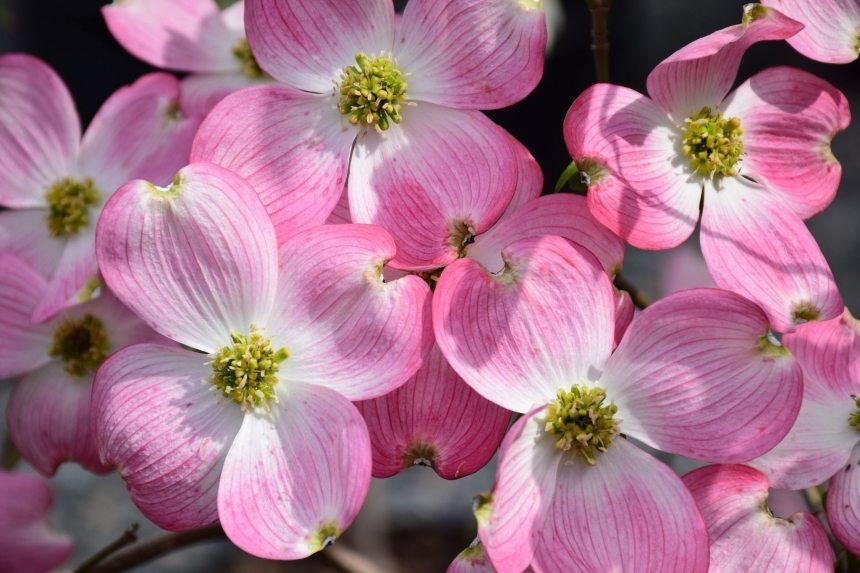 Dogwoods A Harbinger Of Spring Merrifield Garden Center
