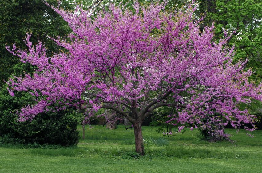 Great spring flowering trees merrifield garden center Small flowering trees