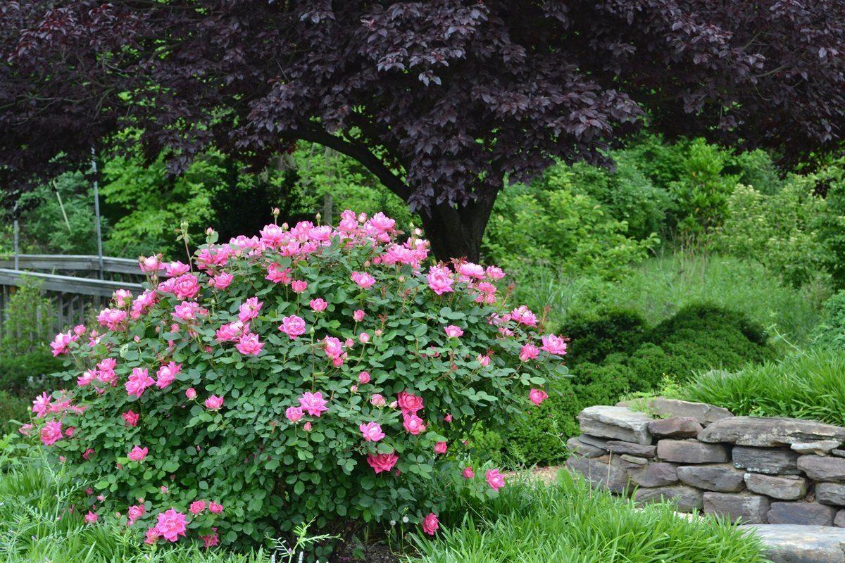 The Art Of Pruning Shrubs Merrifield Garden Center