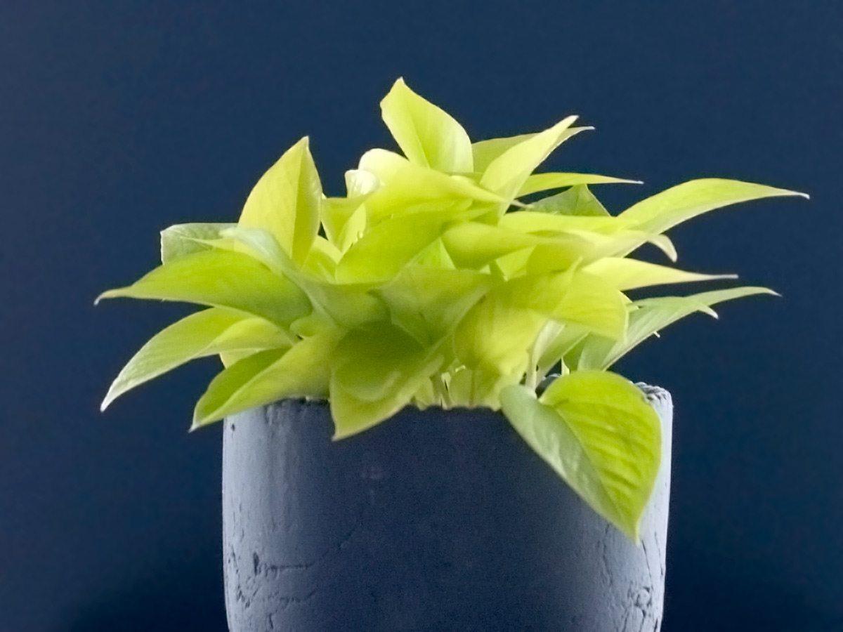 Pothos, Houseplant