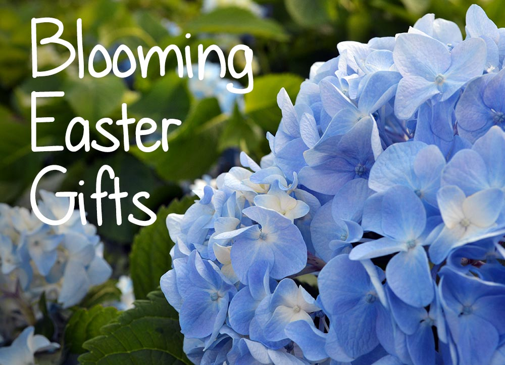 Blooming easter gifts merrifield garden center blooming easter gifts negle Images
