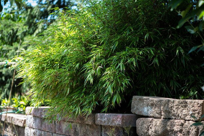 Fargesia Bamboo