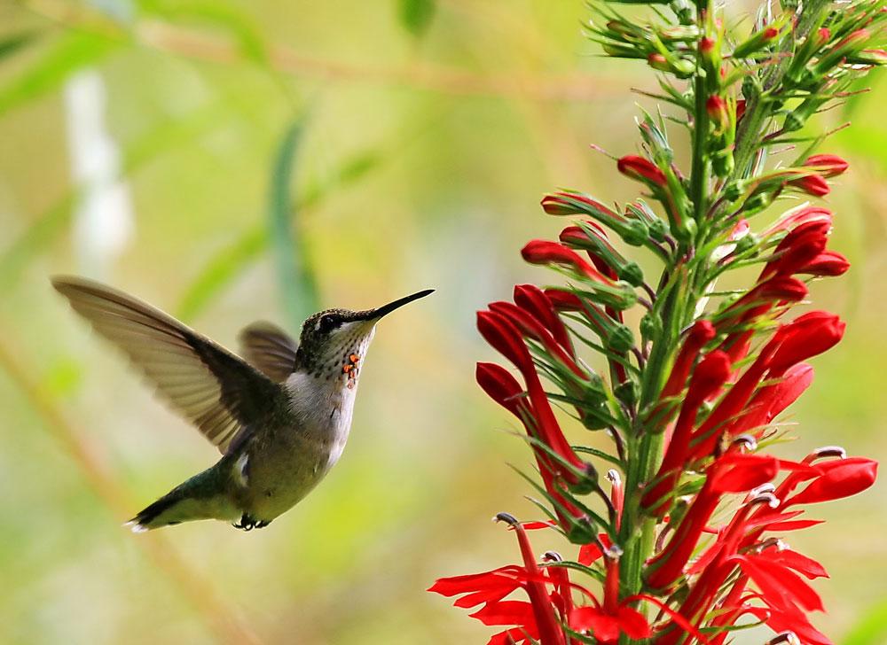 ISTOCK, Hummingbird, Cardinal Flower