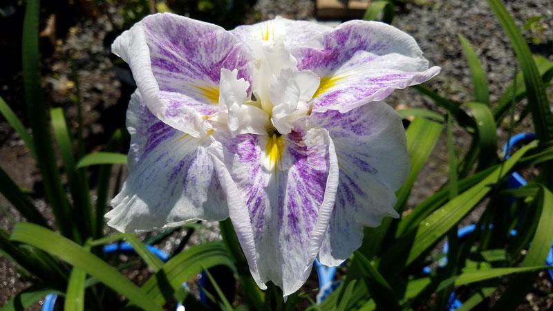Iris, Perennial