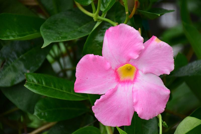 Mandevilla, Tropical, Annual