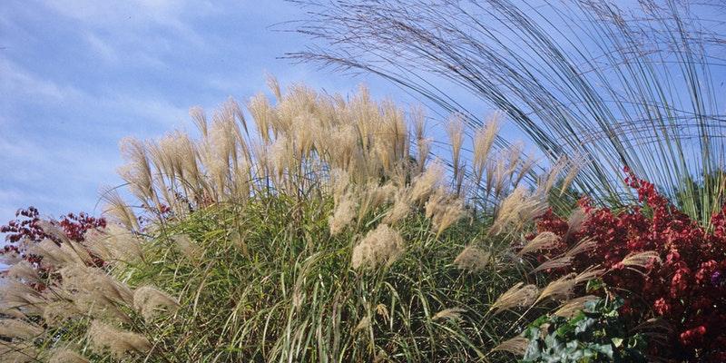 Ornamental Grasses Their Companions Merrifield Garden Center