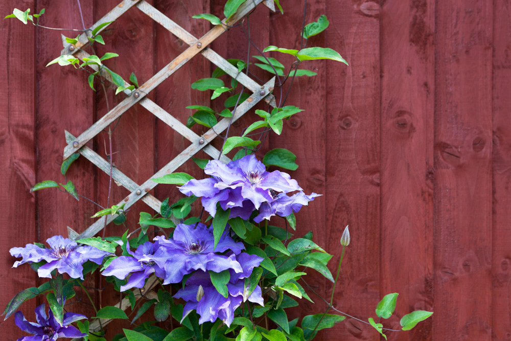 Using climbing plants in your garden merrifield garden for Climbing flowering plants for fences