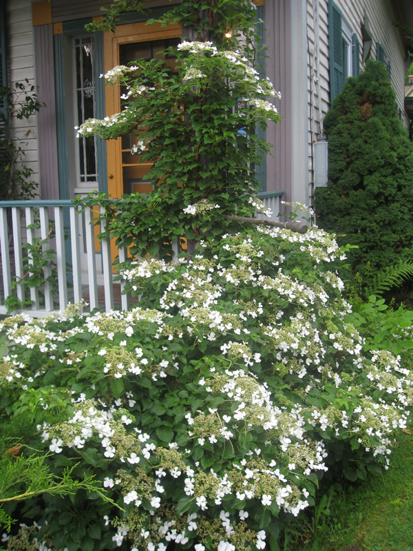 Using climbing plants in your garden merrifield garden center climbing hydrangeas have fragrant lacy white flowers and bright green foliage consider using climbing hydrangea as a screening plant to replace unsightly mightylinksfo