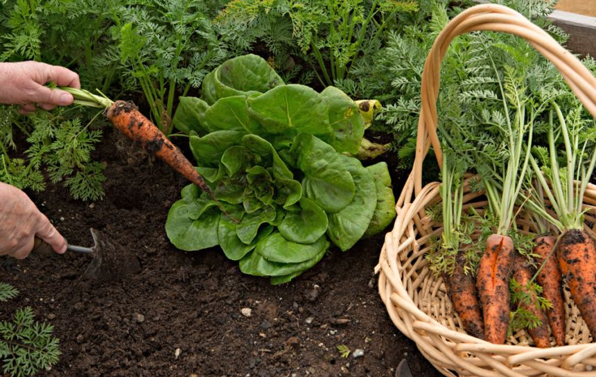 Fall Vegetables - Carrots and Lettuce