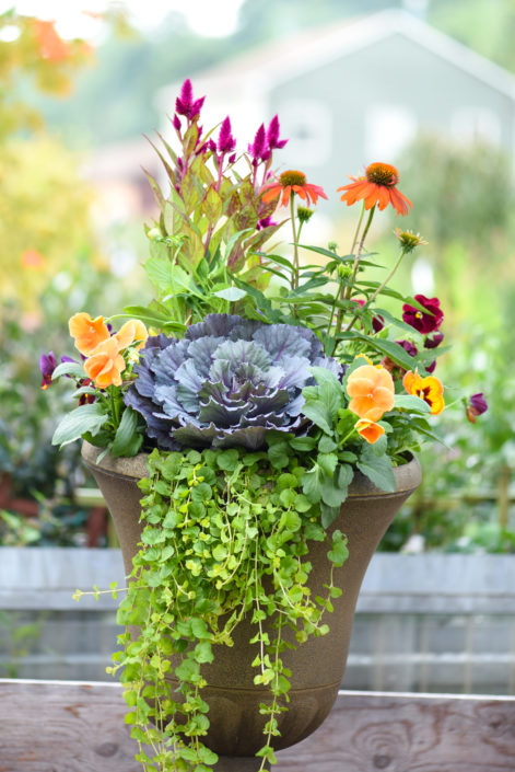 Fall Container with Ornamental Cabbage, Echinacea, Pansy, creeping jenny, celosia