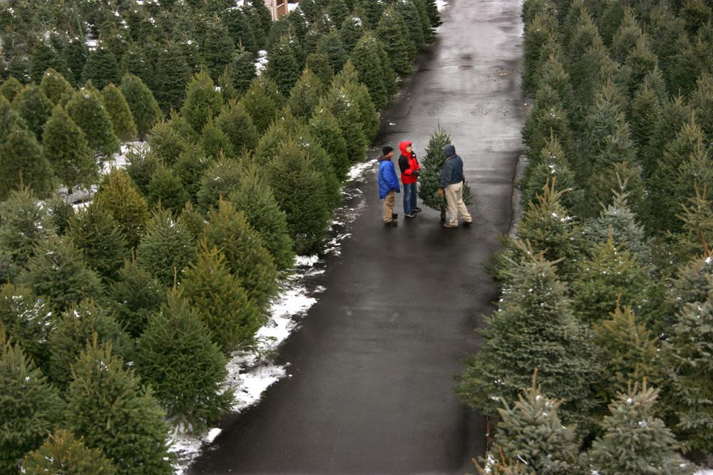 Selecting The Perfect Christmas Tree Merrifield Garden Center