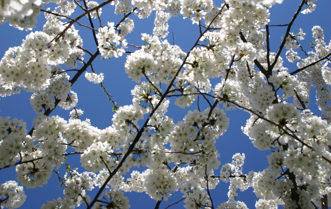 Our favorite spring blooming trees and shrubs merrifield garden center mightylinksfo