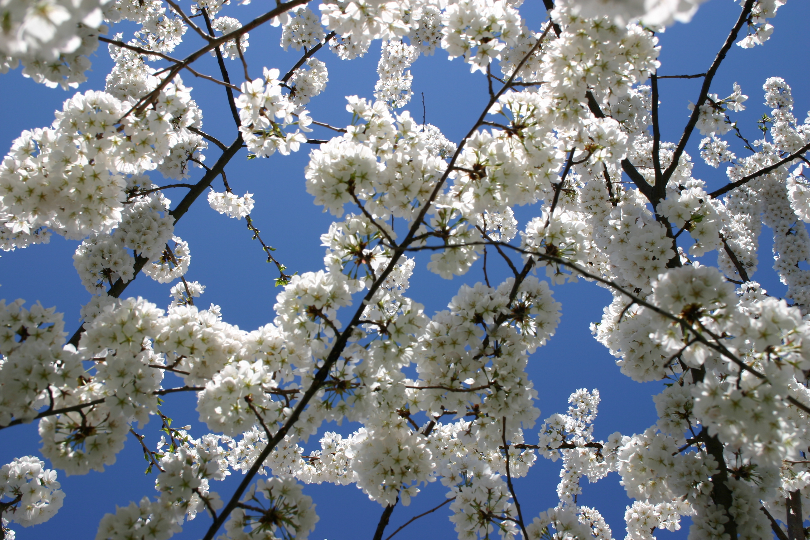 Our Favorite Spring Blooming Trees And Shrubs Merrifield Garden Center