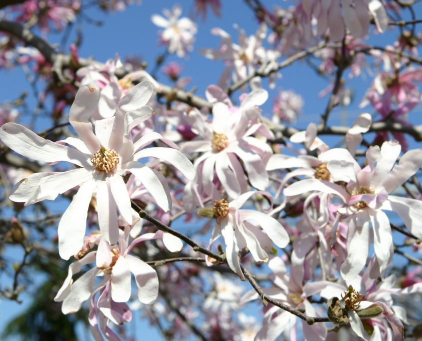 Our Favorite Spring Blooming Trees And Shrubs Merrifield Garden