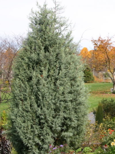 Great Trees And Shrubs For Screening Merrifield Garden Center