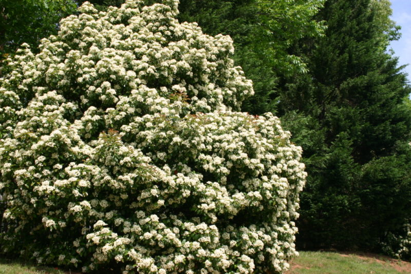 Great trees and shrubs for screening merrifield garden center the white flowers are attractive and the berries are bright red planting viburnum in groups will improve berry production mightylinksfo