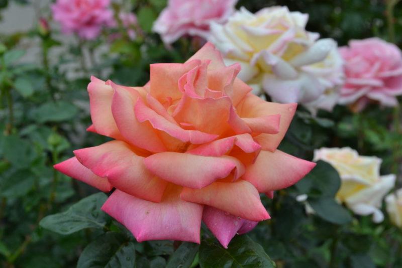 Hybrid Tea Rose 'Chicago Peace'