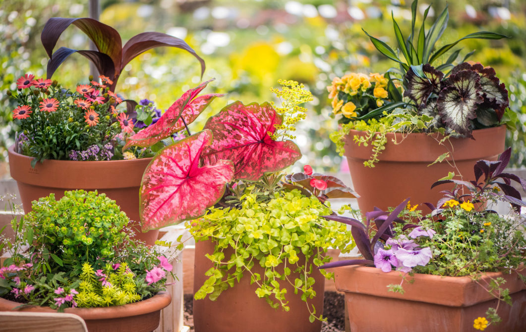 Spring Containers with Caladium