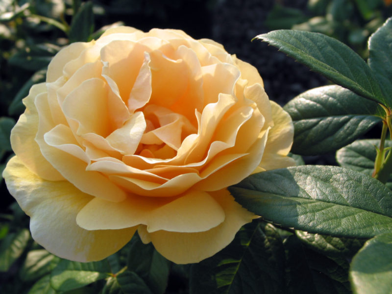 Grandiflora Rose, Shrub