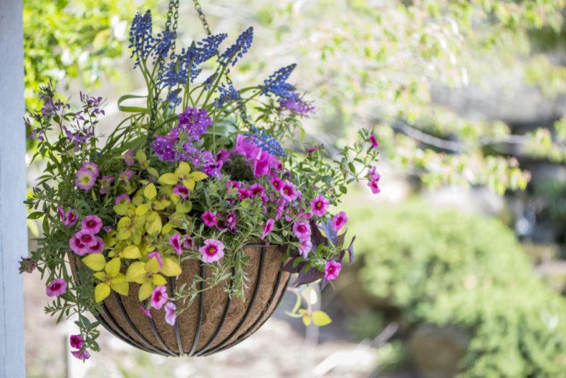 Calibrachoa Spring Hanging Basket