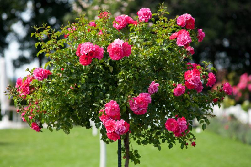 ISTOCK Rose Tree
