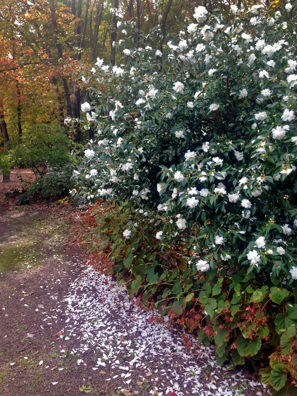 White Camellia, Shrub