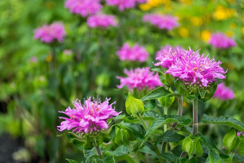 Bee Balm Merrifield Garden Center