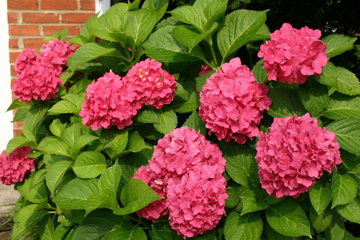 Blooms Garden Centre: Our Hydrangea Picks For Summer Blooms
