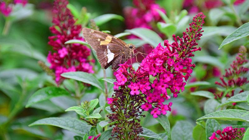 Buddleia, Butterfly Bush, Shrub