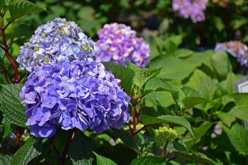 Endless Summer Hydrangea, Shrub