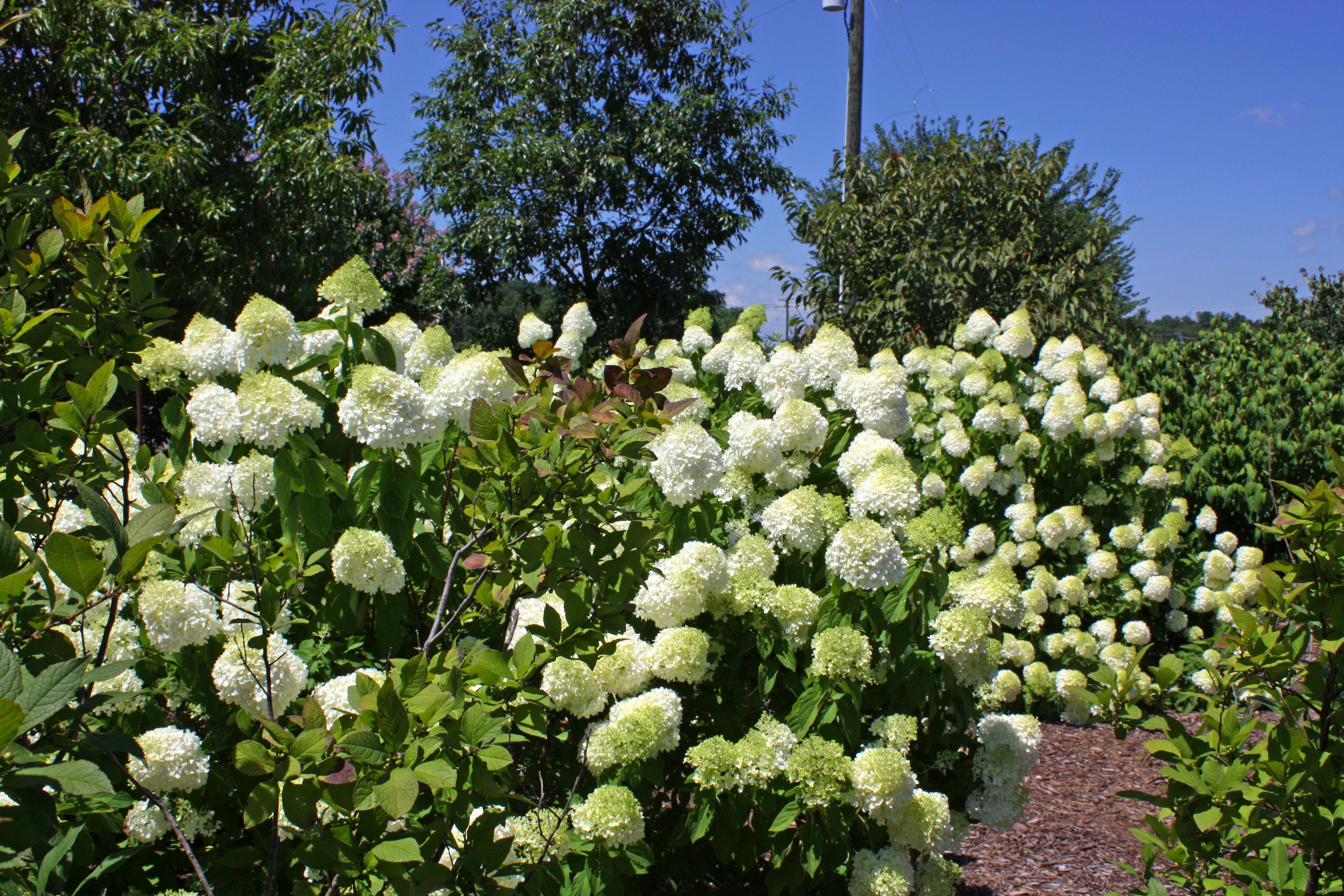 Limelight Hydrangea, Shrub