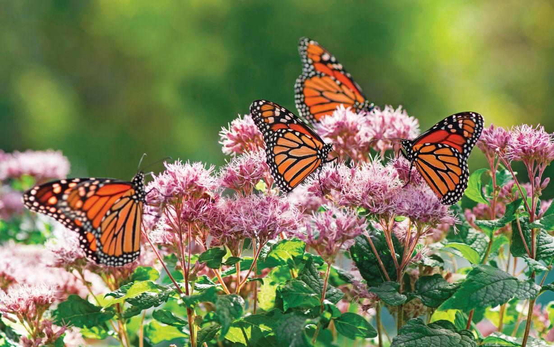 Joe Pye Weed with Monarchs, Perennial, Native