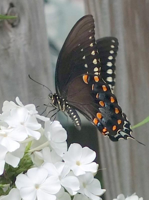 Phlox paniculata and spicebush butterfly Plant NOVA Natives