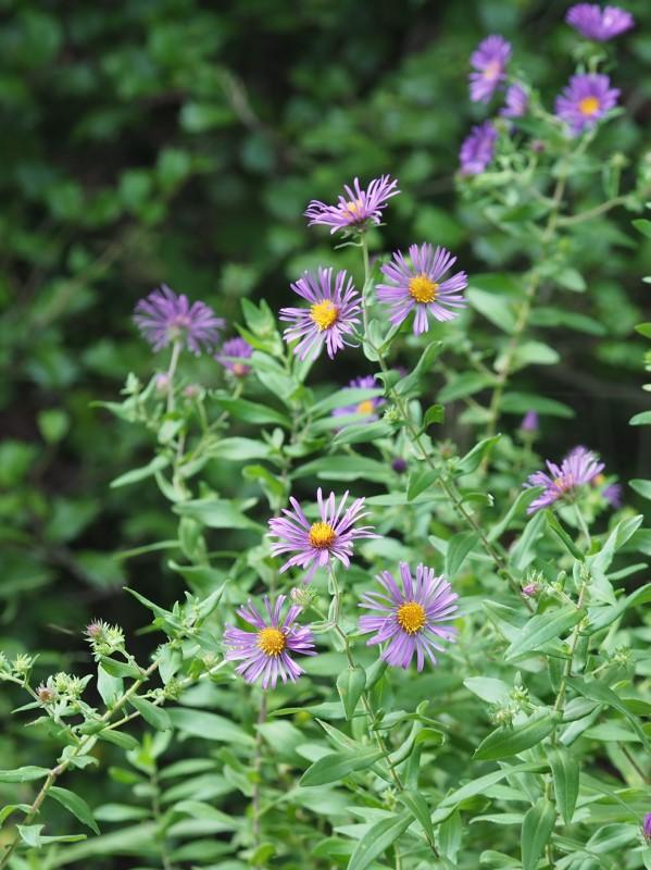 New England Aster Plant NOVA Natives