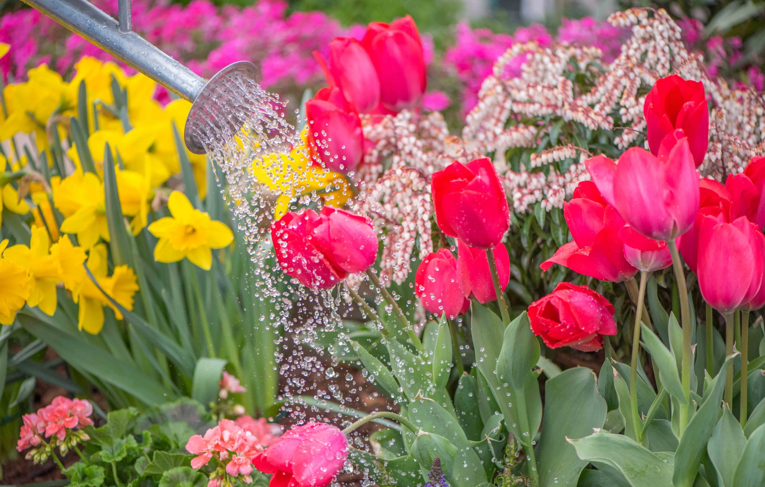 Watering Tulips