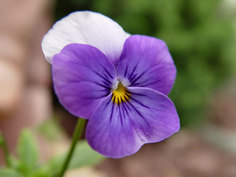 Pansy, Annual