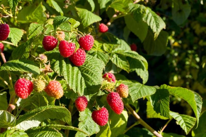 Raspberry, ISTOCK