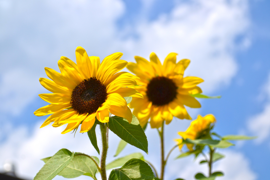 Sunflowers, Annual