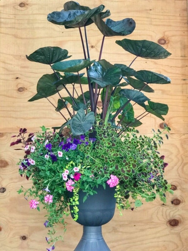Tropical Container with Elephant Ears, Coleus, Verbena