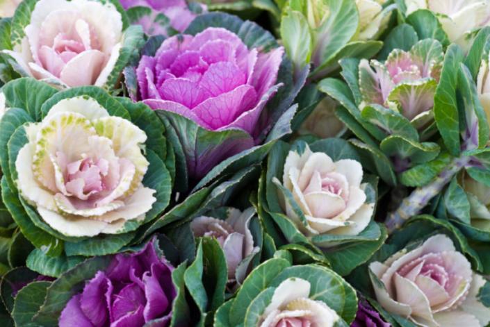 Ornamental Cabbage ISTOCK
