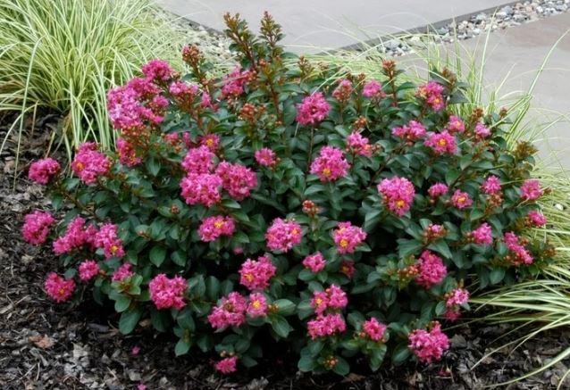 Southern Living Shrub Form Rose