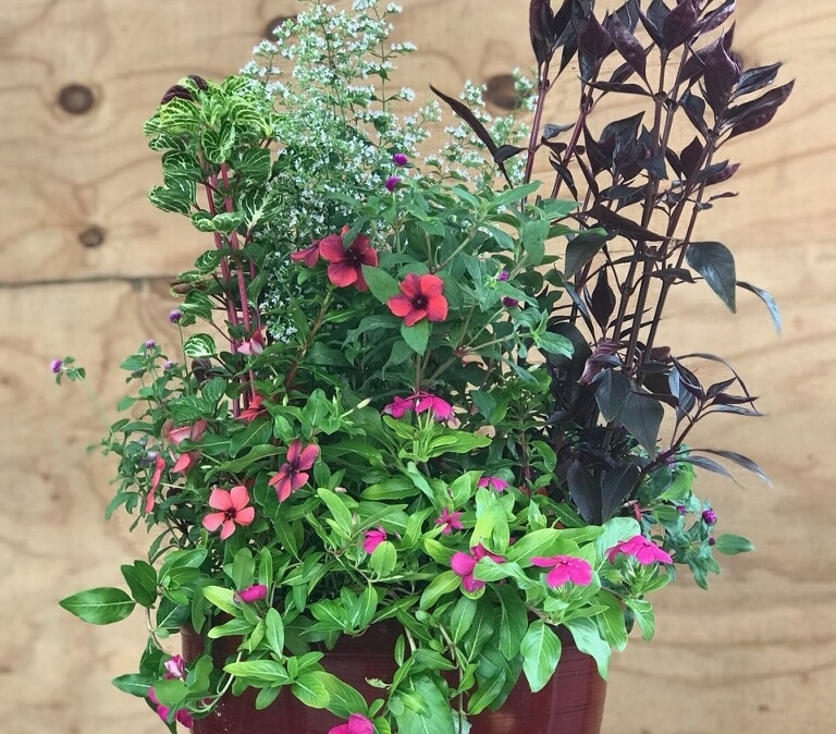 Summer Container, Vinca, Calamint and Persian Shield