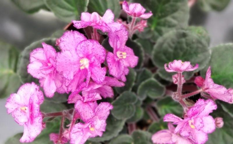 African Violet, Greenhouse