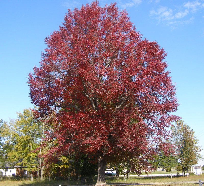Blackgum Fall Foliage