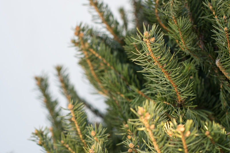 Blue Spruce, Christmas Tree