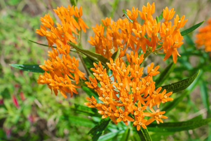 Butterfly Weed Asclepias