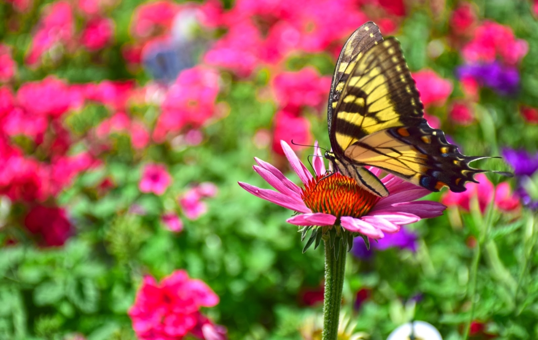 Coneflower with Tiger Swallowtail Butterfly